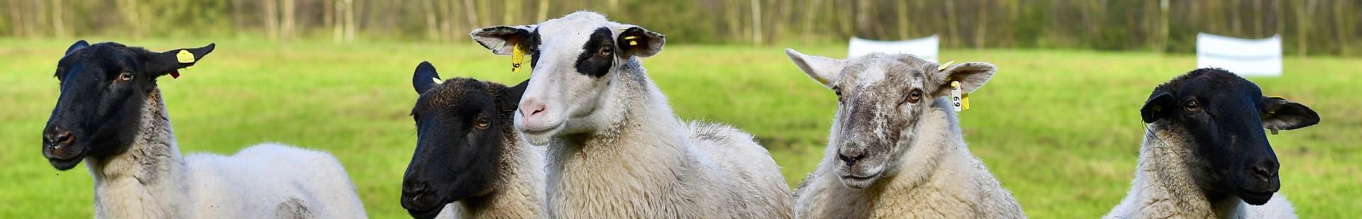 Relaunch Schafe auf Wiese Unterseite